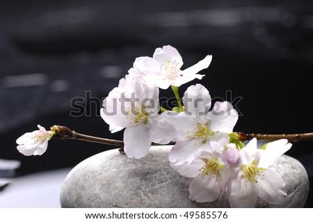 Sakura with therapy stones - stock photo