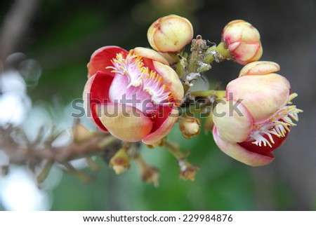 Sala flower from the unusual cannonball tree (Couroupita guianensis)  - stock photo