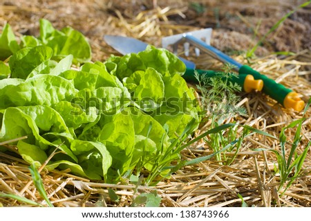 Salad growing in mulch with gardening tools. Salad in focus. - stock photo
