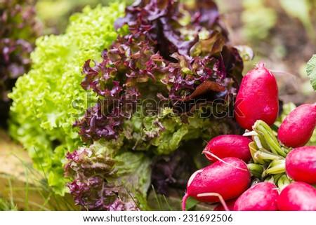 Salad Lollo bianco, Lollo rosso and cultivated radish - stock photo