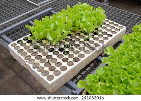 Salad seedling in polystyrene holder for hydroponics gardening - stock photo