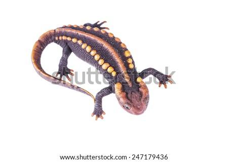 Salamander - stock photo