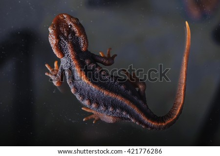 Salamander (Tylototriton verrucosus) in Thailand and Southeast asia. shot in studio - stock photo