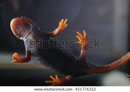 Salamander (Tylototriton verrucosus) in Thailand and Southeast asia. shot in studio