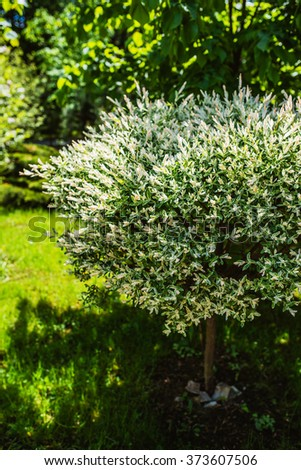 Salix integra (Savatier) hakuro-nishiki is a species of willow native to northeastern China, Japan, Korea and Primorsky Krai in the far southeast of Russia.