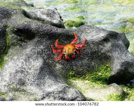 Sally Lightfoot Crab, Galapagos, Ecuador - stock photo