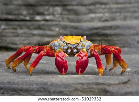 Sally Lightfoot Crab  on Rock on Isla Fernandina, Galapagos Islands, Ecuador - stock photo