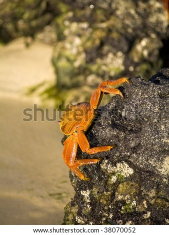 Sally Lightfoot Crab on the side of rocks in the Galapagos islands - stock photo