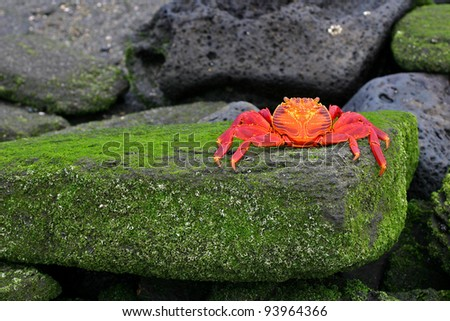 Sally Lightfoot Crab, or Graspus Graspus, on a mossy rock in the Galapagos Islands - stock photo