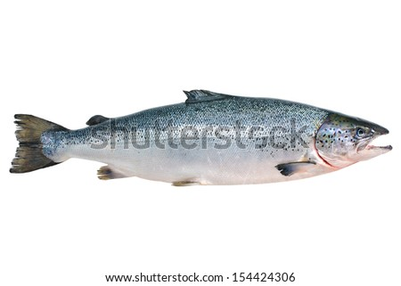 Salmo salar. Atlantic salmon on the white background - stock photo