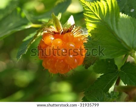 Salmon Berry - stock photo