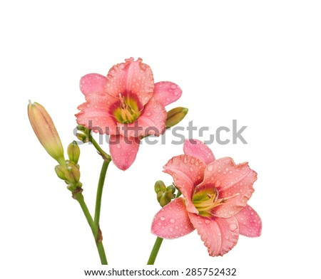 Salmon-colored Daylily in the drops of dew on a white background isolated. Selective focus - stock photo