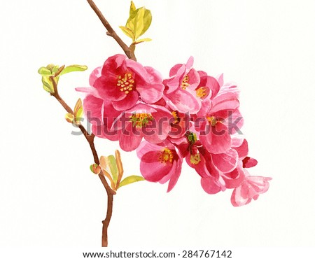 salmon colored flowering quince blossoms watercolor hand painted of salmon colored or pink flowering - Quince Flower