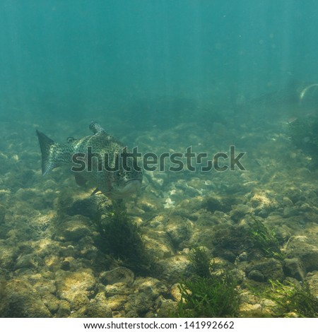 Salmon swimming in clear, green cold waters of Drina River at Balkans. - stock photo