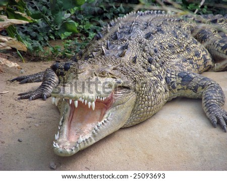 salt water crocodile - stock photo