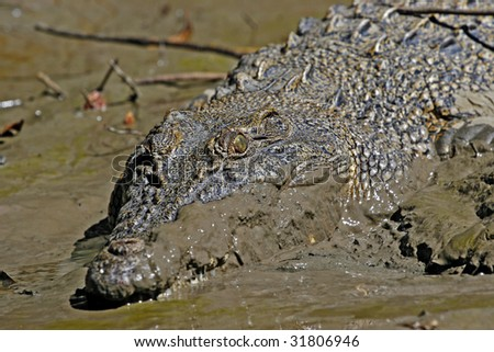 Salt water crocodile in Australian outback