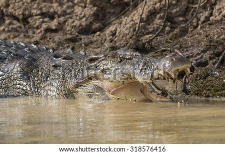 salt water crocodile in the   Mary river