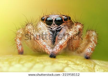 Salticus scenicus jumping spider macro - stock photo