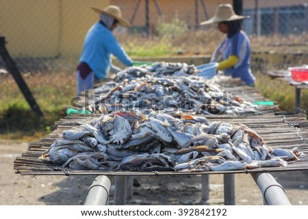 Salting fish. Dried fish is processed from excess commercial fish or low quality fish such as jewfish, hardtail scad, sea catfish, ribbon fish and rays. - stock photo