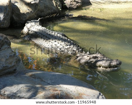 Saltwater Crocodile - stock photo