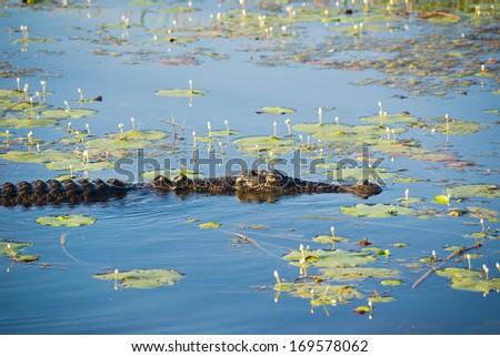Saltwater Crocodile on Yellow Water billabong in Kakadu, Australia - stock photo