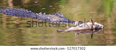 Saltwater crocodile, Yellow waters , Kakadu National Park, Northern Territory, Australia - stock photo