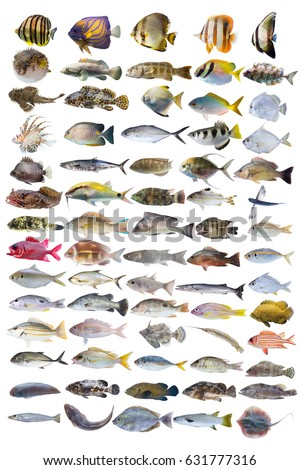 Mangrove snapper fish stock images royalty free images for White fish types