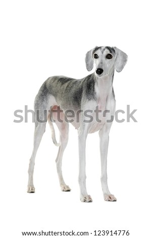 Saluki dog, 7 years old, standing in front of white background - stock photo