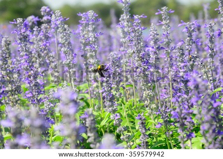 Salvia farinacea Benth (Salvia)