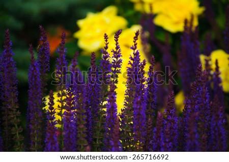 Salvia nemorosa 'Caradonna'  - stock photo