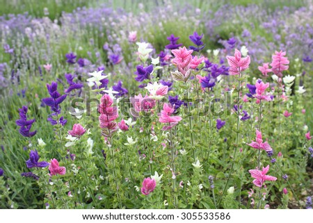 Salvia viridis 'Marble Arch', colorful decorative salvia plants in the garden - stock photo
