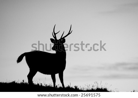 Sambar's silhouette standing on a small hill, it is slow and confident moving. - stock photo