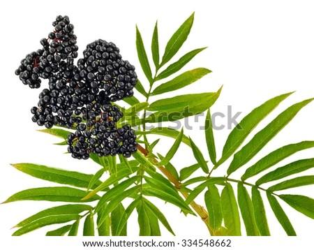 Sambucus Ebulus (Elderberry) fruits and leafs - stock photo