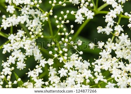 Sambucus (Elder or Elderberry) closeup - stock photo