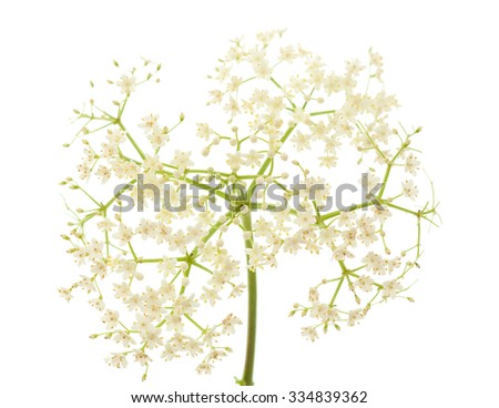Sambucus nigra (Black Elder, European Elder; European Elderberry; European Black Elderberry; Common Elde) isolated on white - stock photo