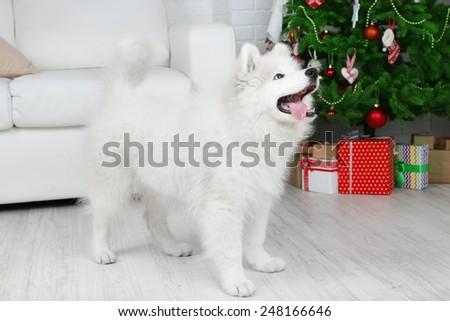 Samoyed dog in room with Christmas tree on white sofa background - stock photo