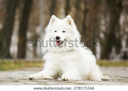 Samoyed dog lying in the park on a natural background - stock photo