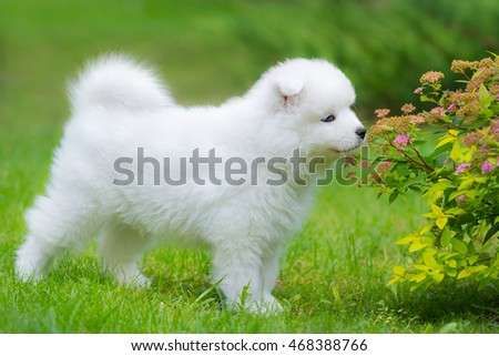 Samoyed dog puppy smelling flower on summer day