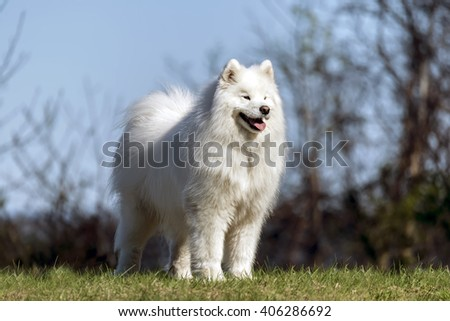 Samoyed dog standing on hilltop in the sun - stock photo