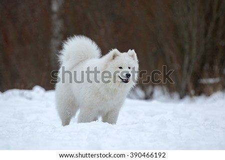 Samoyed is dancing in the snow.