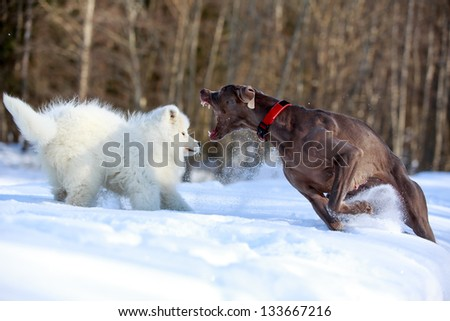 samoyed puppy and weimaraner dog - stock photo