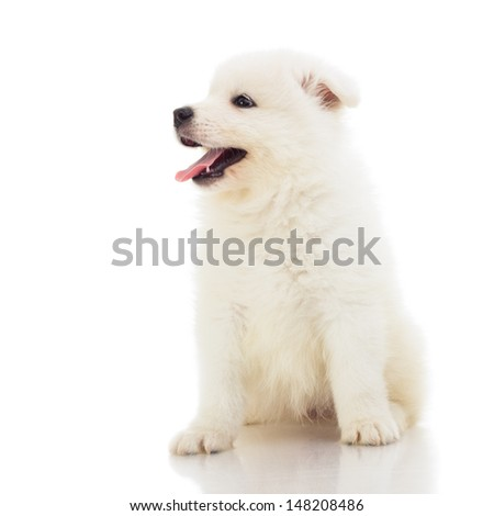 samoyed puppy with opening mouth sitting down in a studio. isolated on white. - stock photo