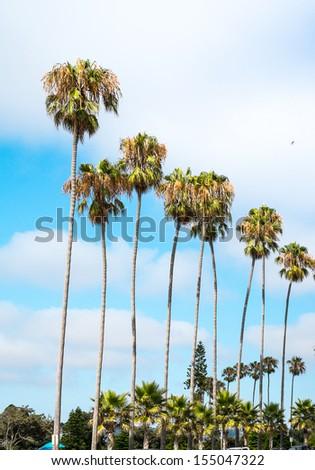 San Diego, California Palm Trees  - stock photo