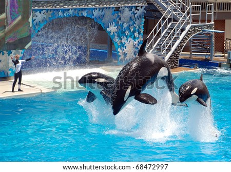 SAN DIEGO, CALIFORNIA, USA - MAY 11: killer whale shamu show on May 11, 2010 in Seaworld San Diego - stock photo