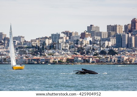 SAN FRANCISCO, CALIFORNIA/USA - MAY 8 2016: Gray Whale a critically endangered species making an unusual appearance in San Francisco Bay with city skyline in background