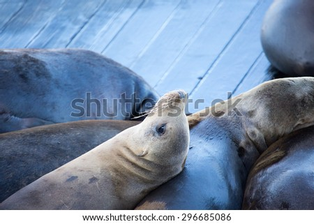 San Francisco sea lions basking in the sun on pier 39 - stock photo