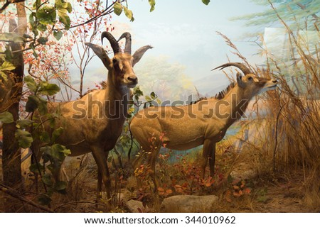 SAN FRANCISCO, USA - OCT 5, 2015: Antelope in the Animal section of tge California Academy of Sciences, a natural history museum in San Francisco, California. It was established in 1853