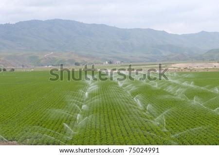 San Joaquin Valley California potato field needs irrigation - stock photo