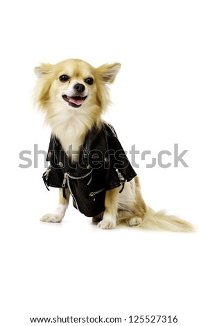 Sand Coloured Chihuahua Wearing a Black Leather Jacket Isolated on a White Background Looking at the Camera Panting