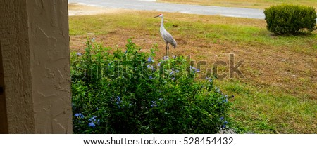 Sand Hill crane searches local area for food or water